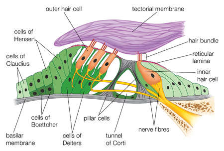 Stock Illustration - Structure of the organ of Corti