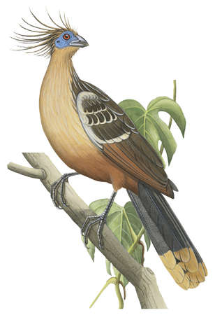 Image Result For Hoatzin Coloring Book