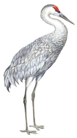 Stock Illustration - Sandhill crane (Grus canadensis)  Stock Illustrat...