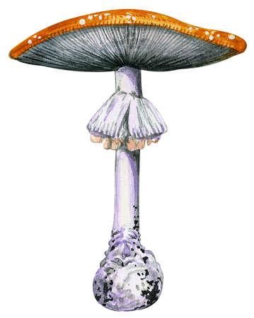 Stock Illustration - Fly mushroom (Amanita muscaria)
