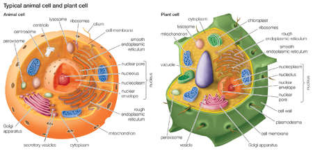 cellular cross-section...