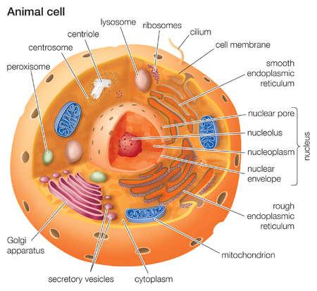 stock illustration cutaway drawing of a eukaryotic