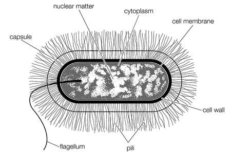 Fil flagella together with 23047 also 54746 likewise 2 also Lipid Structure Diagram Labeled. on bacterial cell diagram