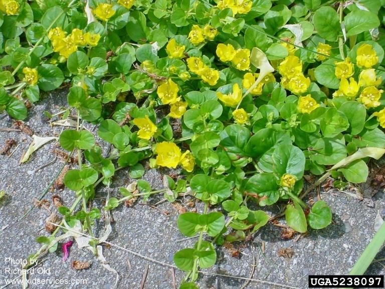 Plant details tennessee invasive plant council description mightylinksfo