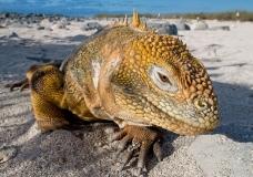 Iguane des iles galapagos