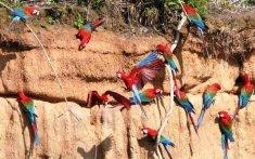 Les aras de la jungle péruvienne
