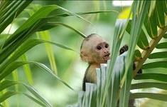 Singe du Costa Rica