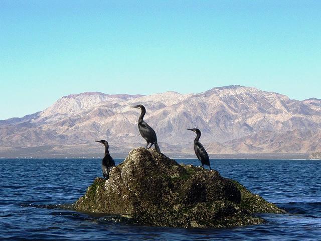 oiseau-basse-californie