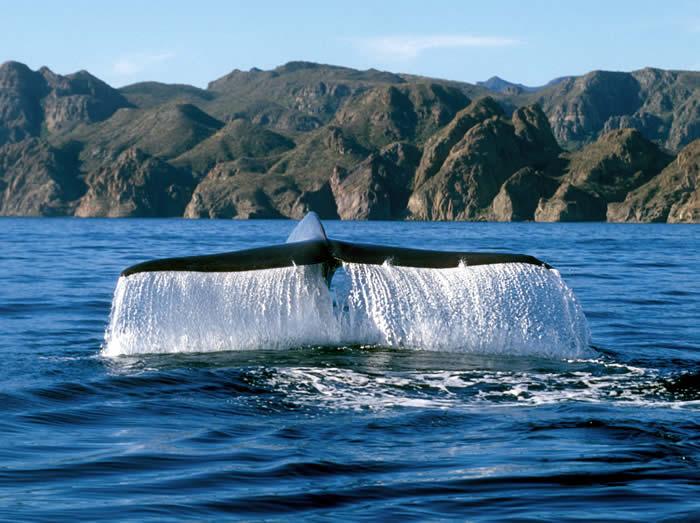 baleine-grise-basse-californie