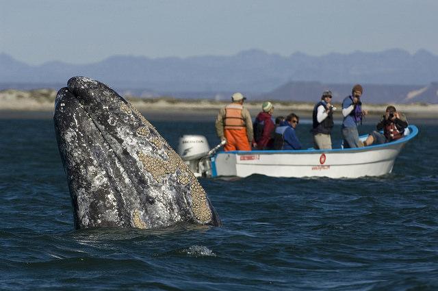 baleine-lagune-san-ignacio