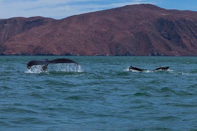 migration-baleines-grises