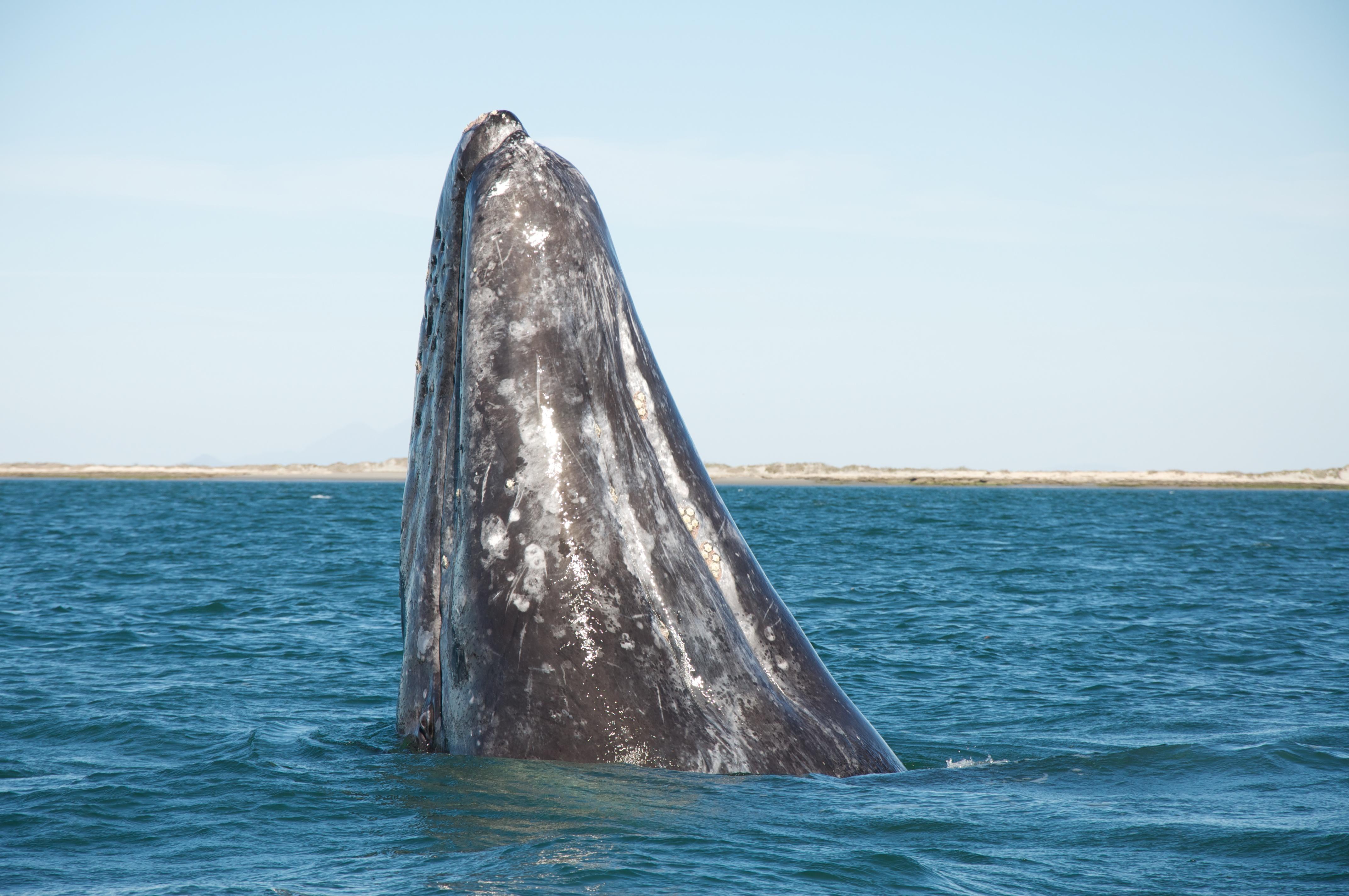 basse-californie-baleine