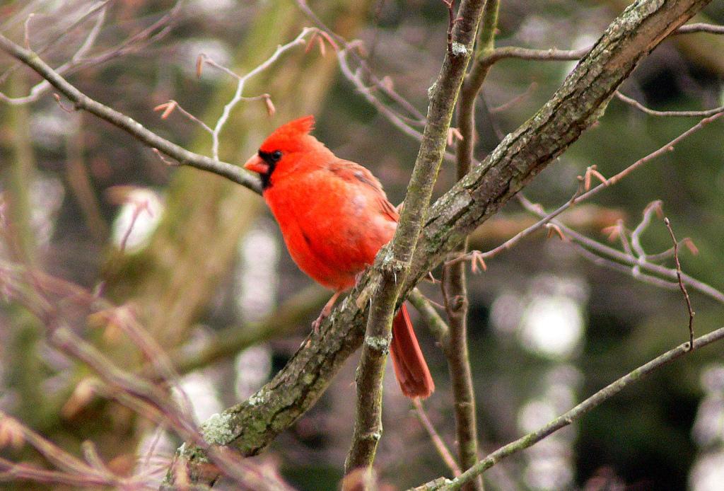Oiseaux Cardinal Peru