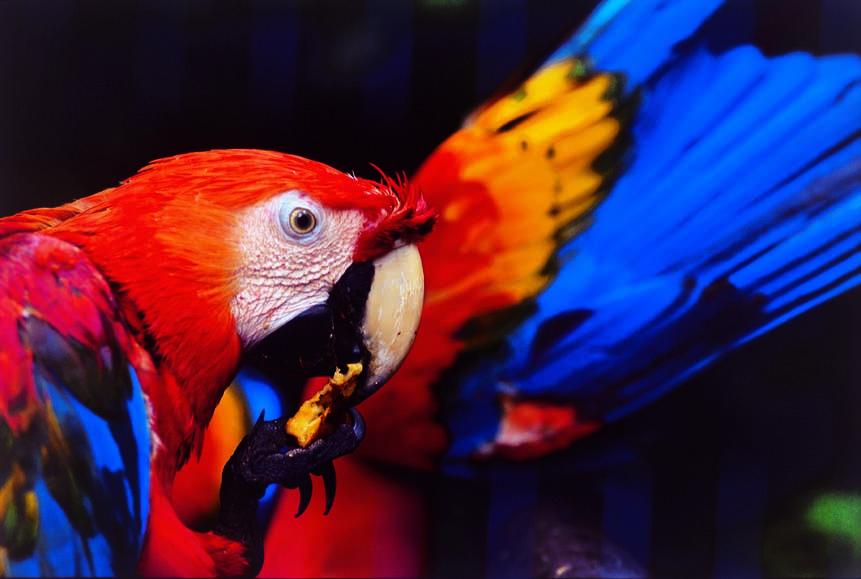 Oiseaux Macaw Peru