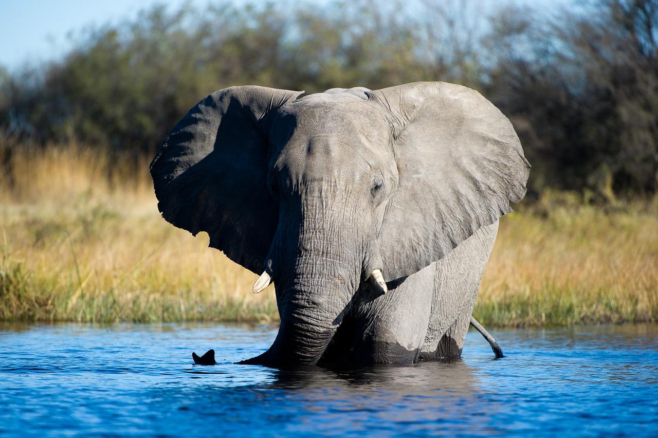 Eléphant dans la rivière au Botswana.