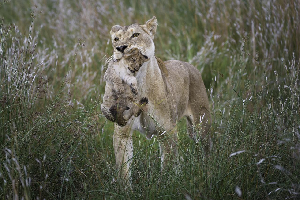 Lionne et son lionceau à linyanti au Botswana.