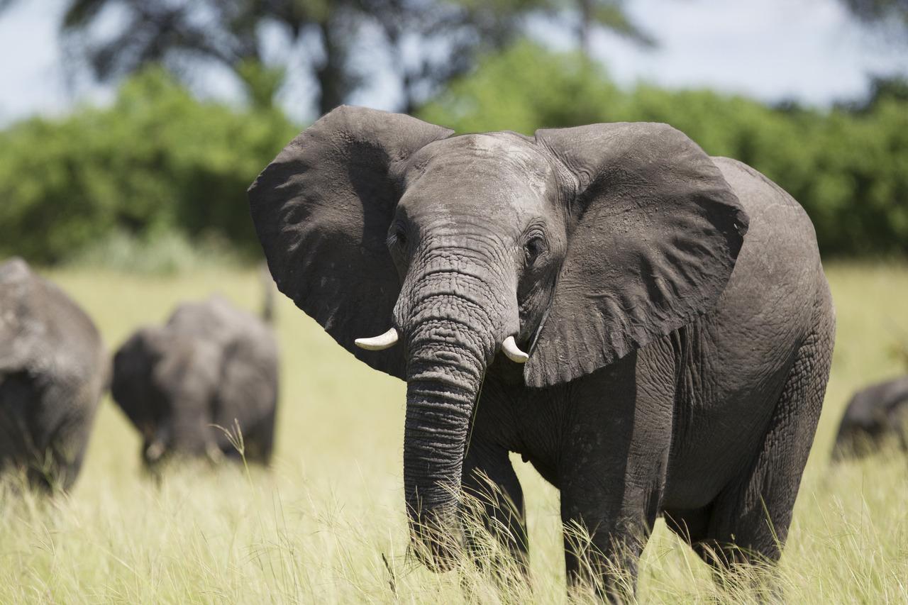 Eléphants dans l'Okavango au Botswana.