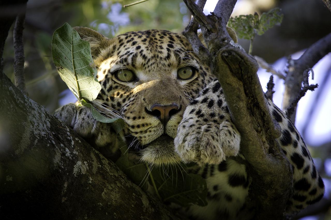 Léopard dans l'Okavango au Botswana.