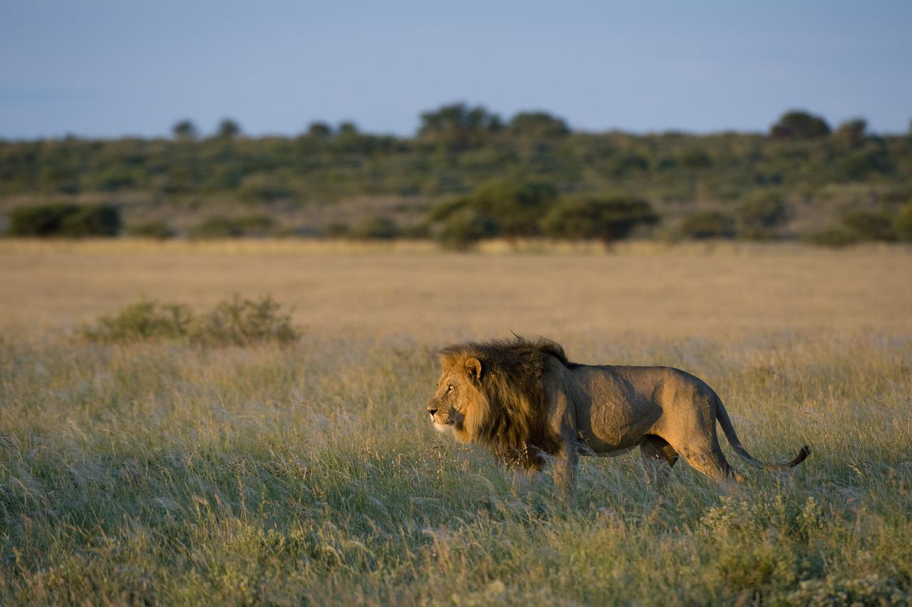 Lion du Kalahari au Botswana.