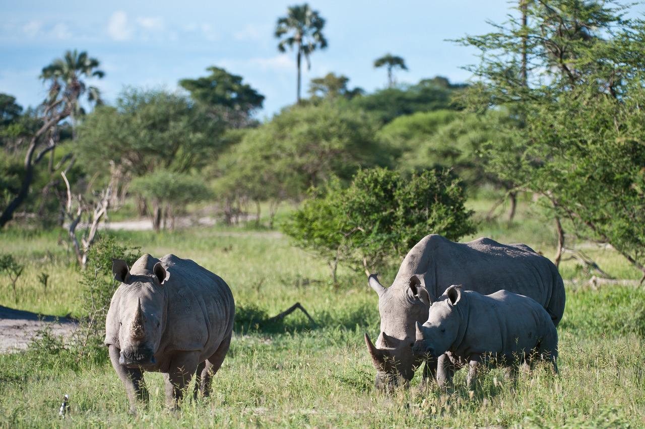 Rhinocéros au Botswana.