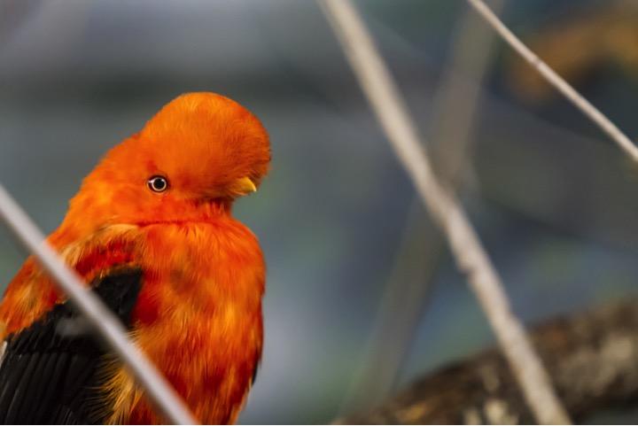 perou-ornitholigie-rupicola