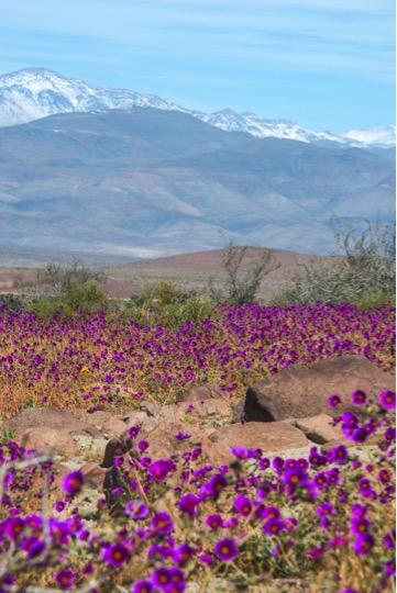 chili-desert-atacama-fleurs
