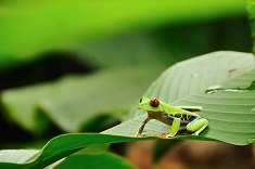 Red Eyed frog Costa Rica