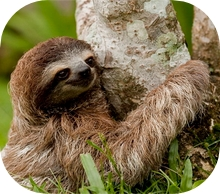 3 Fingers Costa Rican Sloth