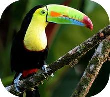 The grat Toucan of Costa Rica