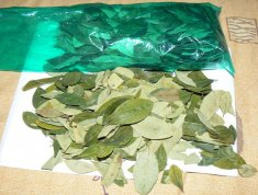 feuilles-coca-bolivie
