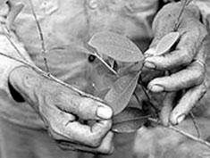 feuille-coca-bolivie