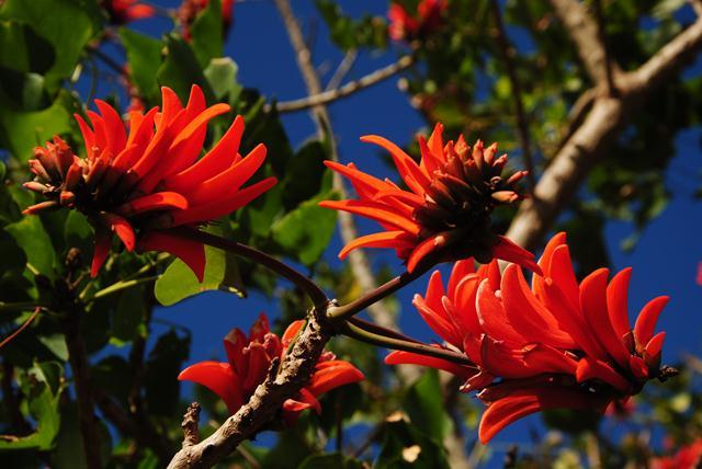 Fleur Ile de Pâques