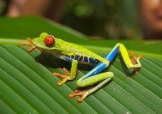 grenouille costarica