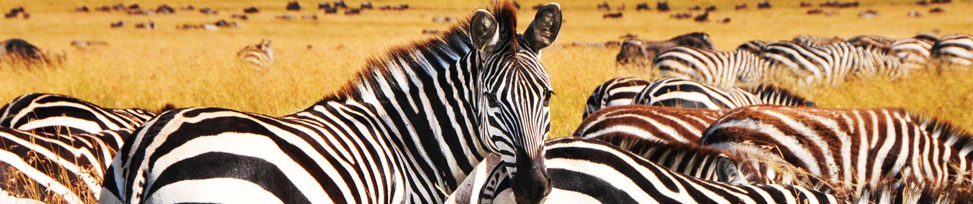 afrique-du-sud-safari-zebre-st
