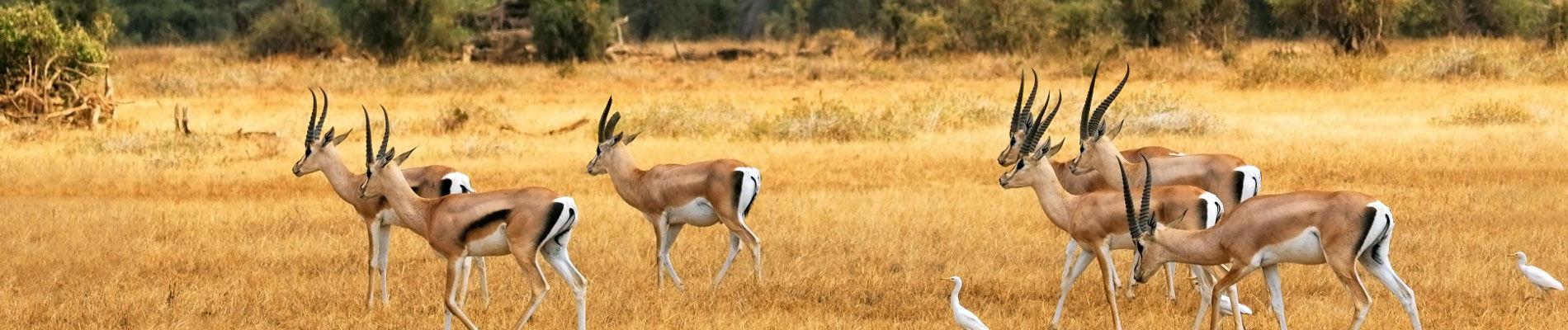 afrique-du-sud-savane-gazelles