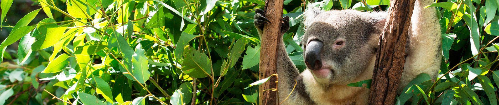 australie-koala-st