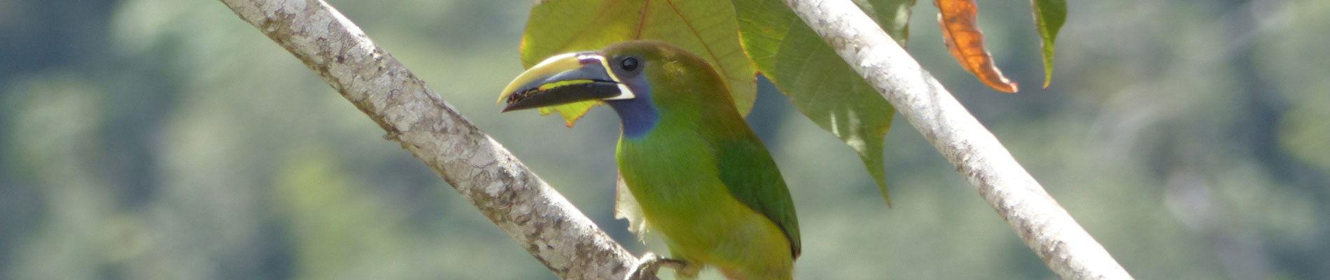 costa-rica-toucan