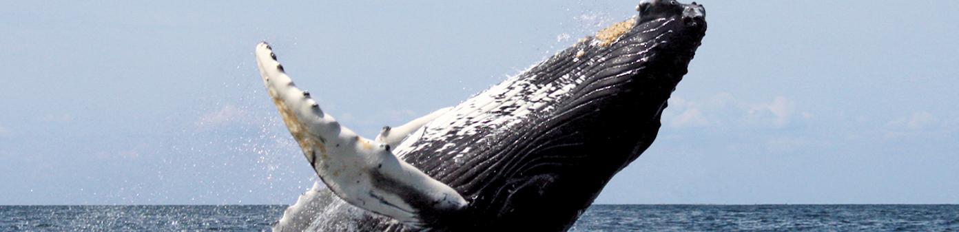 Whale-Costa-Rica