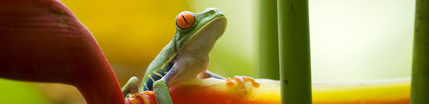 Red-eye-frog-Costa-Rica