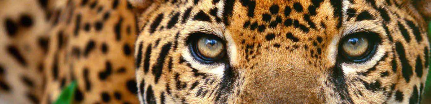 jaguar-costa-Rica-trip