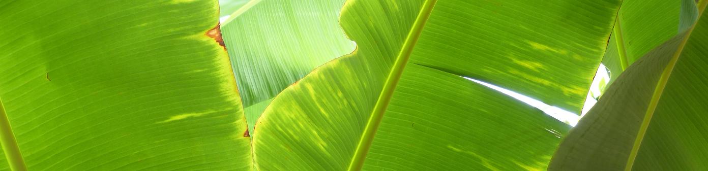Banana-costa-rica