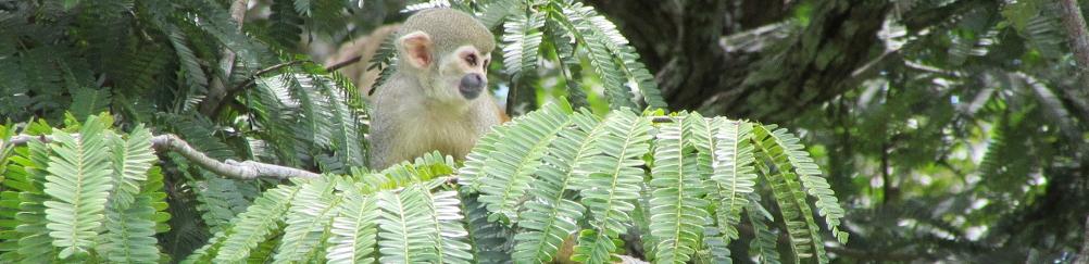 amazonie-singe