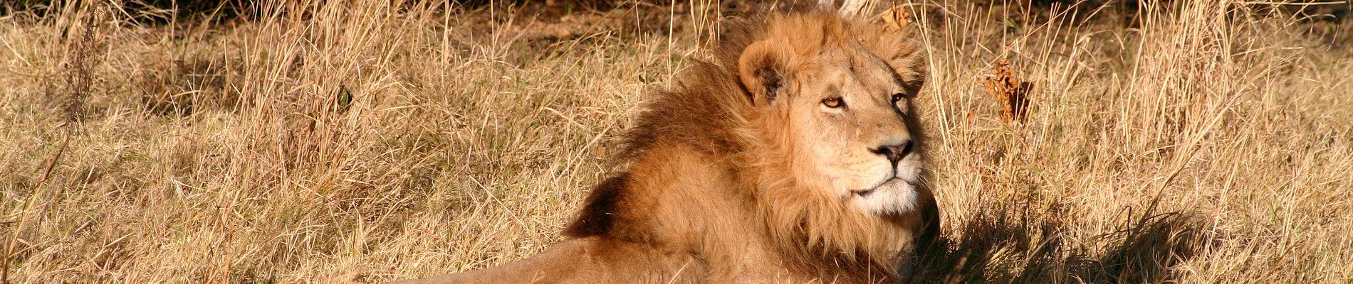 afrique-botswana-lion-safari-st