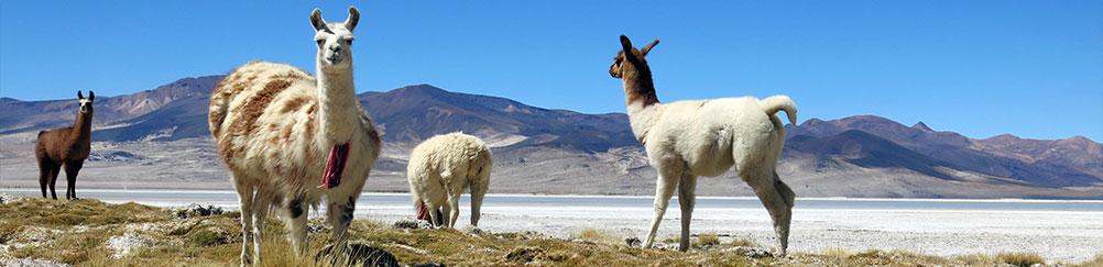 alpacas-altiplano-chili