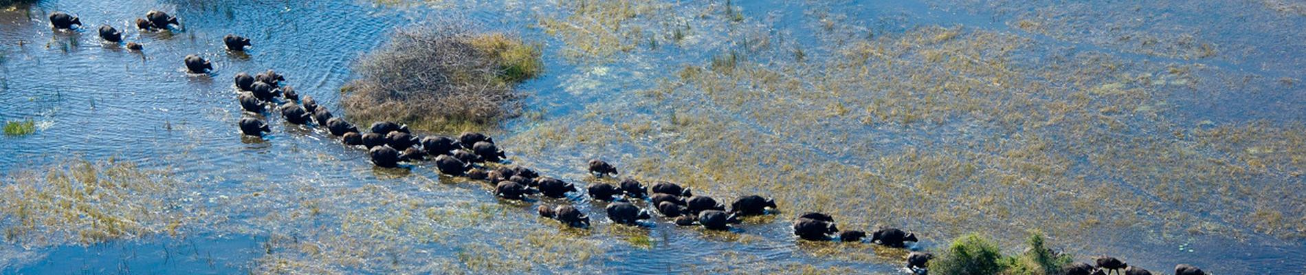 buffle-okavango-botswana