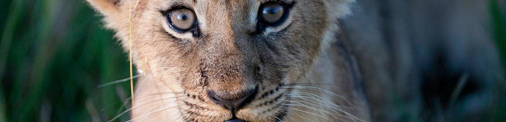 baby-lion-botswana