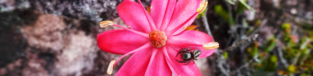 monte-roraima-fleur-araignee
