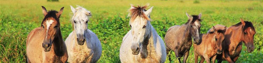 Horses in Marajo