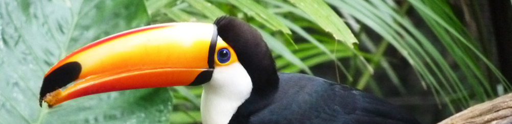 Toucan in Iguazu