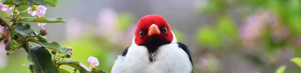 Red Bird, Pantanal